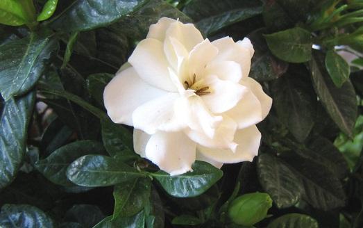 Прекрасный и полезный цветок гардения