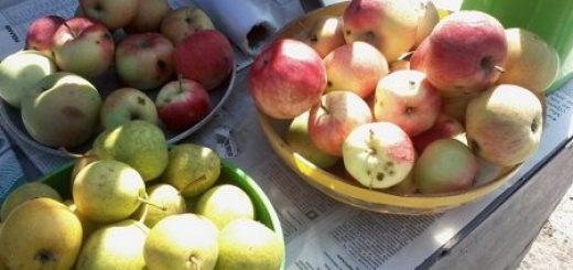 Яблочное изобилие