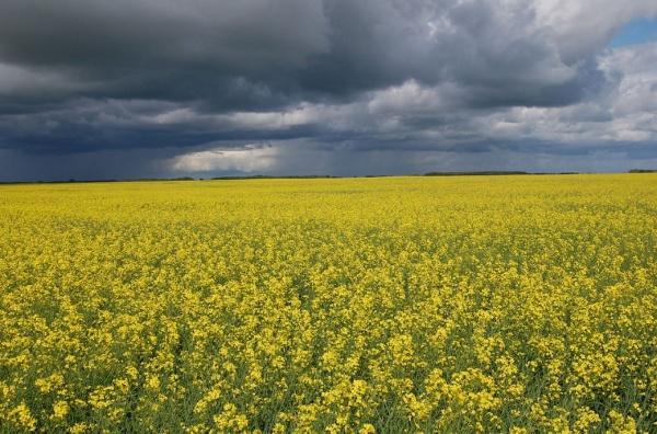 В НААН України розказали про перспективи, проблеми та особливості розвитку олійної галузі