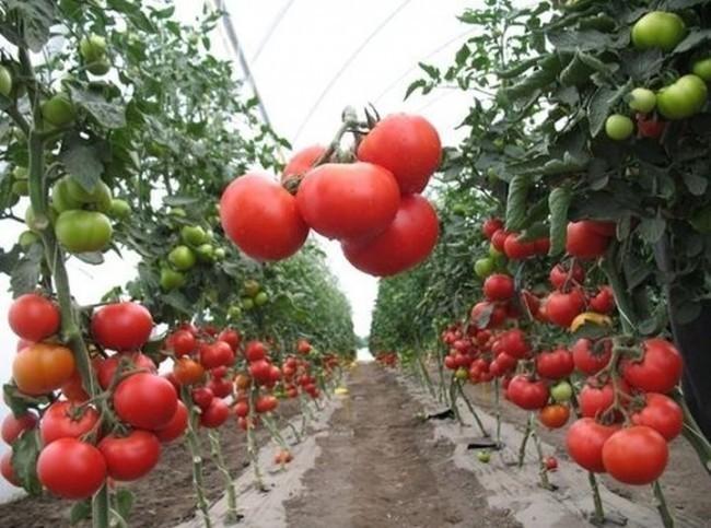 Новини НААН: Українські овочі здатні конкурувати з іноземними сортами не лише на внутрішньому,але й на зовнішньому ринку