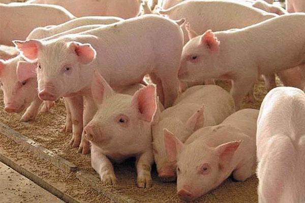 Новини НААН: вітчизняні досягнення в галузі ветеринарної медицини та лікування тварин